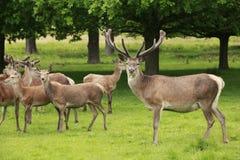 Rebanho de cervos vermelhos Imagens de Stock Royalty Free