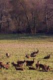 Rebanho de cervos vermelhos no inverno Foto de Stock Royalty Free