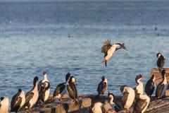 Rebanho de cormorans imperiais no porto de Punta Arenas Fotografia de Stock