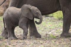 Rebanho de criação de animais do elefante que anda e que come na grama curto Imagem de Stock