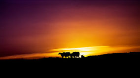 Rebanho de cucoloris das cabras sob o por do sol Fotos de Stock