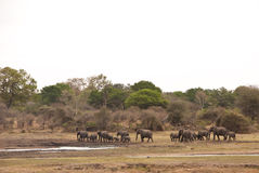 Rebanho de elefantes africanos do arbusto Foto de Stock Royalty Free