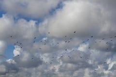 Rebanho de espumadeiras pretas contra o céu nebuloso fotografia de stock