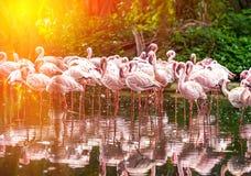 Rebanho de flamingos cor-de-rosa Fotos de Stock Royalty Free