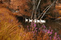 Rebanho de flutuação dos gansos com folha luxúria no primeiro plano Fotos de Stock