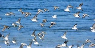 Rebanho de Frigtened dos pássaros Fotos de Stock Royalty Free