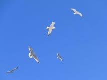 Rebanho de gaivota de mar na ação no céu azul Imagens de Stock Royalty Free