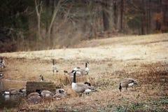 Rebanho de gansos canadenses na borda de uma lagoa Foto de Stock
