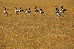 Rebanho de gansos canadenses no campo colhido Fotografia de Stock