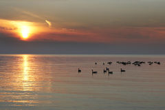 Rebanho de gansos de Canadá no Lago Huron no por do sol Imagem de Stock Royalty Free