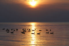 Rebanho de gansos de Canadá no Lago Huron no por do sol Imagens de Stock Royalty Free