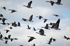 Rebanho de gansos de Canadá no vôo Imagens de Stock