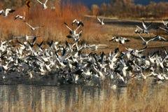 Rebanho de gansos de neve Foto de Stock Royalty Free