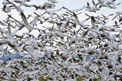 Rebanho de gansos de neve imagens de stock