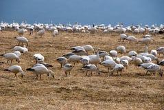 Rebanho de gansos de neve da migração Foto de Stock