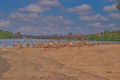 Rebanho de gansos egípcios Fotos de Stock Royalty Free