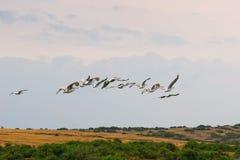 Rebanho de grandes pelicanos brancos antes do por do sol Imagens de Stock Royalty Free