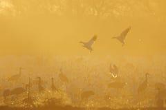 Rebanho de guindastes e de gansos de Sandhill Imagens de Stock Royalty Free