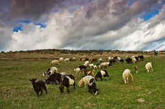 Rebanho de herd Imagens de Stock Royalty Free