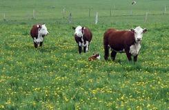Rebanho de Hereford com vitela do bebê Fotos de Stock Royalty Free