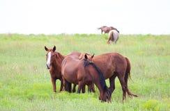 Rebanho de hourses vermelhos no pasto verde que come - cavalo borrado no horizonte imagens de stock royalty free