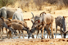 Rebanho de Kudu que bebe do waterhole Foto de Stock Royalty Free