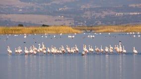 Rebanho de maiores flamingos Imagem de Stock