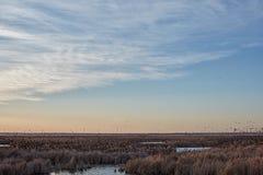 Rebanho de melros da migração em Cheyenne Bottoms Imagens de Stock Royalty Free