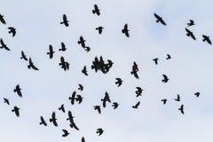 Rebanho de migração das gralhas em voo imagens de stock