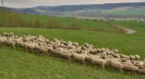 Rebanho de pastar carneiros Fotos de Stock Royalty Free