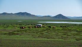 Rebanho de pastar cavalos Fotografia de Stock Royalty Free