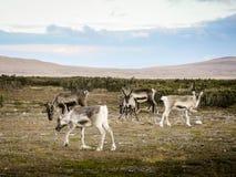 Rebanho de pastar a rena, Suécia Fotografia de Stock