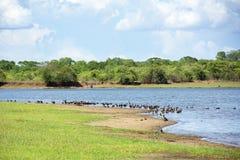 Rebanho de patos Branco-enfrentados ao lado de uma represa Imagens de Stock