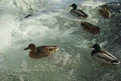 Rebanho de patos selvagens perto de uma cachoeira do inverno fotos de stock royalty free