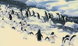 Rebanho de pinguins de Adelie Fotografia de Stock