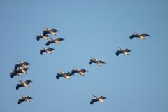 Rebanho de pássaros do pelicano Fotografia de Stock Royalty Free