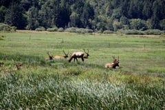 Rebanho de touros dos alces de roosevelt Foto de Stock Royalty Free