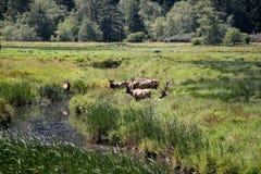 Rebanho de touros dos alces de roosevelt Fotografia de Stock