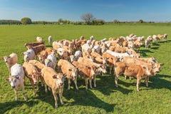 Rebanho de touros novos nos Países Baixos Imagem de Stock