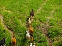 Rebanho de vaca que corre afastado Foto de Stock