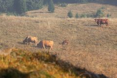Rebanho de vaca que pasta em um pasto montanhoso, Floresta Negra fotografia de stock royalty free