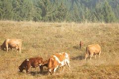 Rebanho de vaca que pasta em um pasto montanhoso, tempo do outono imagens de stock royalty free