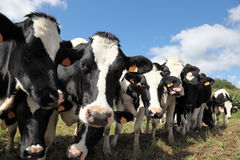 Rebanho de vacas de leiteria preto e branco inquisidoras de Holstein Fotografia de Stock