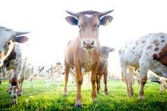 Rebanho de vacas novas curiosas Fotografia de Stock Royalty Free