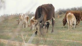 Rebanho de vacas que pasta no pasto e que come a grama verde na terra vídeos de arquivo