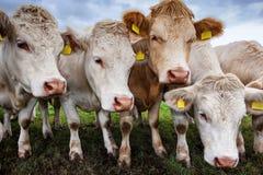 Rebanho de vitelas novas Fotos de Stock Royalty Free