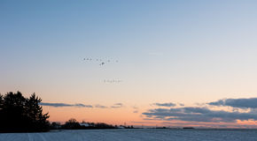 Rebanho de voar gansos de Canadá no por do sol Fotos de Stock