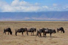 Rebanho de Wildebeast na paisagem impressionante da cratera de Ngorongoro de Tanzânia imagem de stock