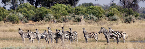 Rebanho de zebras das planícies Fotografia de Stock Royalty Free