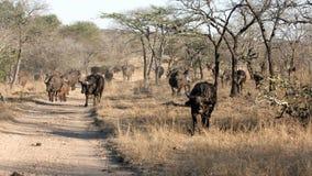Rebanho do búfalo africano, parque nacional de Kruger foto de stock